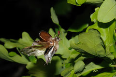 Primer del insecto de la flor del espino (Melolontha vulgaris). fotos de archivo