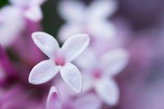 Primer del jacinto Fotos de archivo