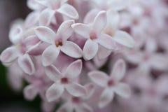 Primer del jacinto Foto de archivo