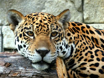 Primer del jaguar Imagen de archivo