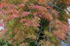 Primer del japonicum ornamental rojo de Acer del arce en la colina imagen de archivo