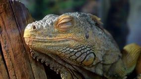 Primer del lagarto de la iguana almacen de metraje de vídeo