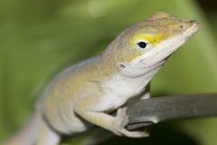 Primer del lagarto del jardín Fotos de archivo libres de regalías
