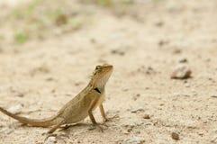 Primer del lagarto en bosque Imágenes de archivo libres de regalías