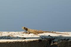 Primer del lagarto femenino del Agama encima de la pared contra el cielo foto de archivo