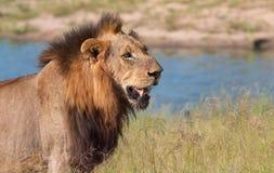 Primer del león (panthera leo) Foto de archivo