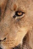 Primer del león (panthera leo) Fotografía de archivo