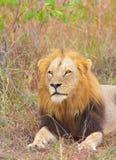 Primer del león (panthera leo) Imagen de archivo libre de regalías
