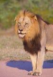 Primer del león (panthera leo) Fotos de archivo
