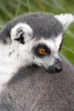 Primer del Lemur Ring-tailed Foto de archivo