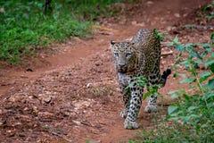 Primer del leopardo Fotografía de archivo libre de regalías