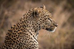 Primer del leopardo africano fotografía de archivo libre de regalías