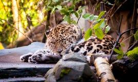 Primer del leopardo de reclinación Fotos de archivo