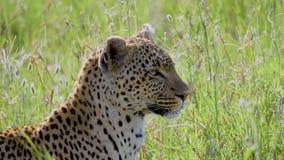 Primer del leopardo en sabana africana con la cabeza de torneado de la alta hierba que busca la presa almacen de video