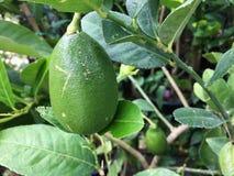 Primer del limón verde Imagenes de archivo