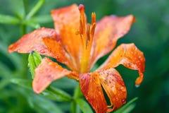Primer del lirio anaranjado, daylily despu?s de la lluvia imagen de archivo