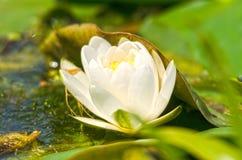 Primer del lirio de agua blanca Imagen de archivo libre de regalías