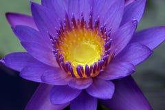 Primer del lirio de agua púrpura Fotografía de archivo libre de regalías