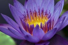 Primer del lirio de agua púrpura Fotografía de archivo