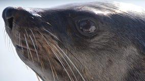 Primer del lobo marino del cabo en la bahía de Walvis en Namibia Fotos de archivo libres de regalías