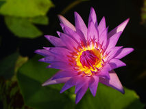 Primer del loto púrpura Imágenes de archivo libres de regalías