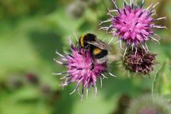 Primer del lucorum amarillo-negro caucásico del Bombus del abejorro Imagen de archivo