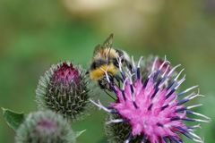 Primer del lucorum caucásico del Bombus del abejorro en el flor púrpura Imagen de archivo