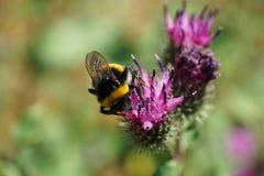 Primer del lucorum rayado mullido del Bombus del abejorro asentado y que recoge el polen Fotografía de archivo libre de regalías
