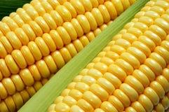 Primer del maíz Fotos de archivo libres de regalías