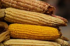 Primer del maíz en la mazorca Fotos de archivo libres de regalías