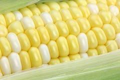Primer del maíz en la mazorca Imagenes de archivo