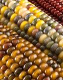 Primer del maíz indio Foto de archivo