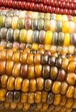 Primer del maíz indio Imagen de archivo libre de regalías