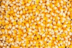Primer del maíz secado del maise Foto de archivo
