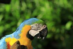 Primer del Macaw Fotos de archivo