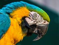 Primer del Macaw Fotografía de archivo libre de regalías