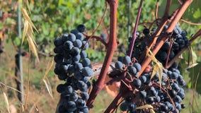 Primer del manojo de uvas jugoso maduro grande para el vino en el viñedo metrajes