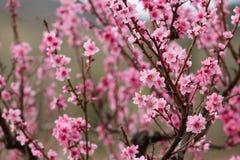 Primer del melocotón floreciente hermoso Foto de archivo libre de regalías