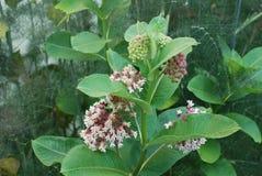 Primer del Milkweed con la abeja Imagen de archivo libre de regalías