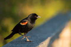 Primer del mirlo de alas rojas que se sienta en la cerca Imagen de archivo