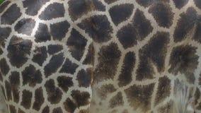 Primer del modelo de la piel de la jirafa - 4k almacen de metraje de vídeo