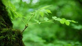 Primer del musgo verde grueso en el bosque en un tronco de árbol grueso Verde saturado Mirada de la cámara almacen de video