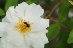 Primer del nitidiuscula rayado caucásico de Andrena de la abeja en YE Fotografía de archivo