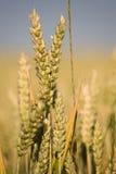 Primer del oído de maíz Foto de archivo libre de regalías