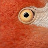 Primer del ojo americano del flamenco, ruber de Phoenicopterus foto de archivo