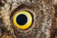 Primer del ojo del búho, foto macra, ojo de los scops europeos del Otus del búho de scops fotos de archivo libres de regalías