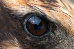 Primer del ojo de Eagle, foto macra, ojo del aeruginosus del circo del corredor de cross de pantano fotos de archivo