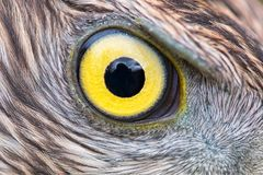 Primer del ojo de Eagle, foto macra, ojo del azor fotografía de archivo libre de regalías