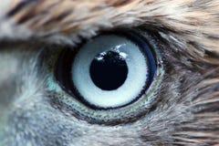 Primer del ojo de Eagle, macro, ojo de los gentilis jovenes del Accipiter del azor fotos de archivo