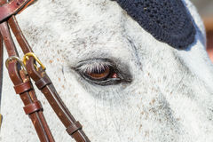 Primer del ojo de la cabeza de caballo Imagen de archivo